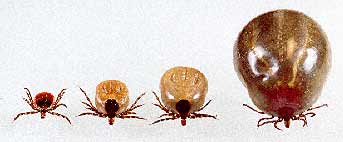 Deer Tick Engorged Series