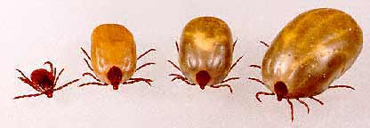 Brown dog tick infestation - photo#33