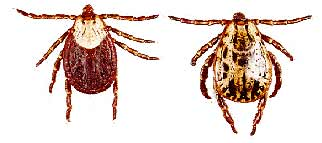Image result for rocky mountain wood tick